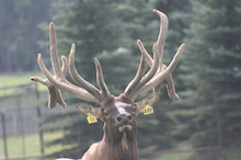 Elk in Alberta, Canada at Sun Creek Ranches